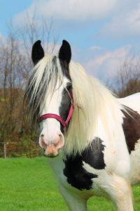 Moni ist unser sanfter Riese! Ob groß klein, Fortgeschrittener oder Anfänger, sie stellt sich auf jeden Reiter ein und macht die Reitstunde zu einem Erlebnis.