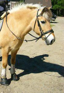 Das Kuschelpony vom Teekotten!!. Ob Voltigieren, Reitunterricht oder beim Therapiereiten, er steht allen Reitern brav zur Seite!